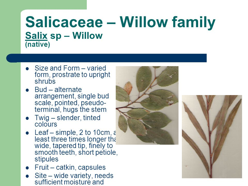 Salicaceae – Willow family Salix sp – Willow (native) Size and Form – varied form, prostrate to upright shrubs Bud – alternate arrangement, single bud scale, pointed, pseudo- terminal, hugs the stem Twig – slender, tinted colours Leaf – simple, 2 to 10cm, at least three times longer than wide, tapered tip, finely to smooth teeth, short petiole, stipules Fruit – catkin, capsules Site – wide variety, needs sufficient moisture and nutrients