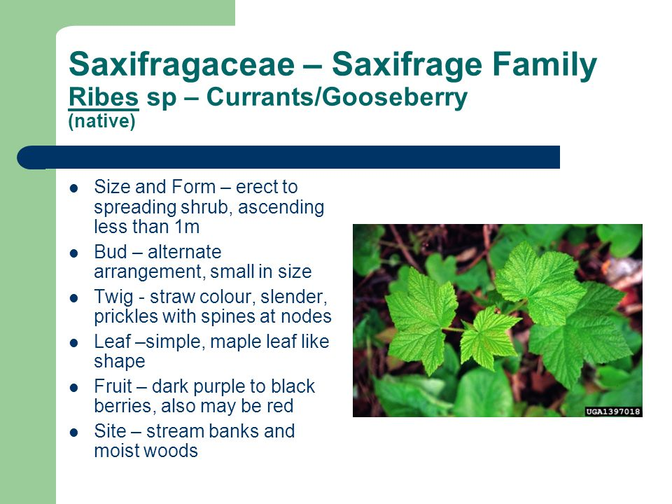 Saxifragaceae – Saxifrage Family Ribes sp – Currants/Gooseberry (native) Size and Form – erect to spreading shrub, ascending less than 1m Bud – alternate arrangement, small in size Twig - straw colour, slender, prickles with spines at nodes Leaf –simple, maple leaf like shape Fruit – dark purple to black berries, also may be red Site – stream banks and moist woods