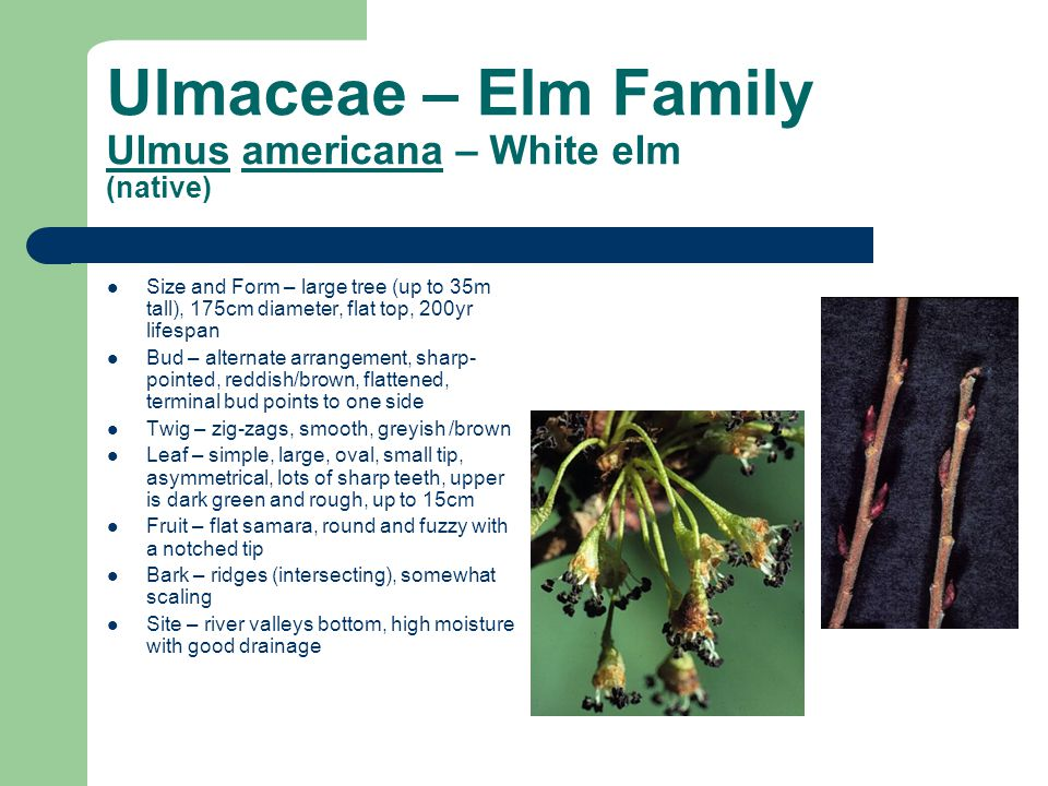 Ulmaceae – Elm Family Ulmus americana – White elm (native) Size and Form – large tree (up to 35m tall), 175cm diameter, flat top, 200yr lifespan Bud – alternate arrangement, sharp- pointed, reddish/brown, flattened, terminal bud points to one side Twig – zig-zags, smooth, greyish /brown Leaf – simple, large, oval, small tip, asymmetrical, lots of sharp teeth, upper is dark green and rough, up to 15cm Fruit – flat samara, round and fuzzy with a notched tip Bark – ridges (intersecting), somewhat scaling Site – river valleys bottom, high moisture with good drainage