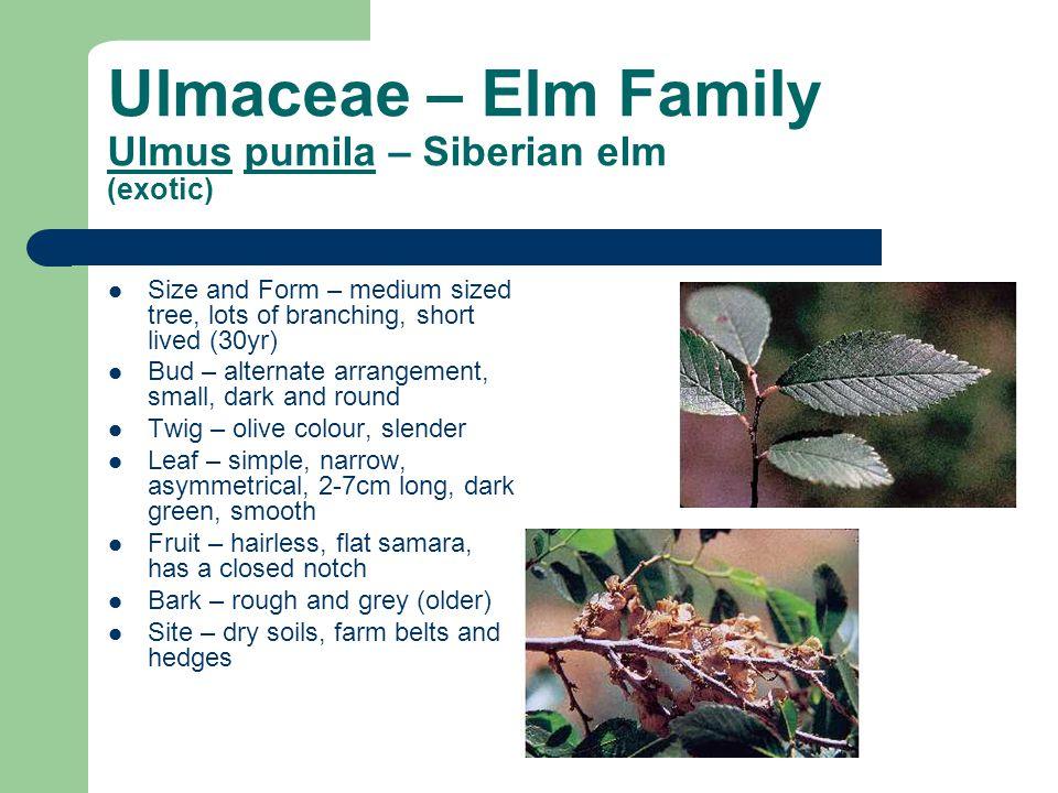 Ulmaceae – Elm Family Ulmus pumila – Siberian elm (exotic) Size and Form – medium sized tree, lots of branching, short lived (30yr) Bud – alternate ar