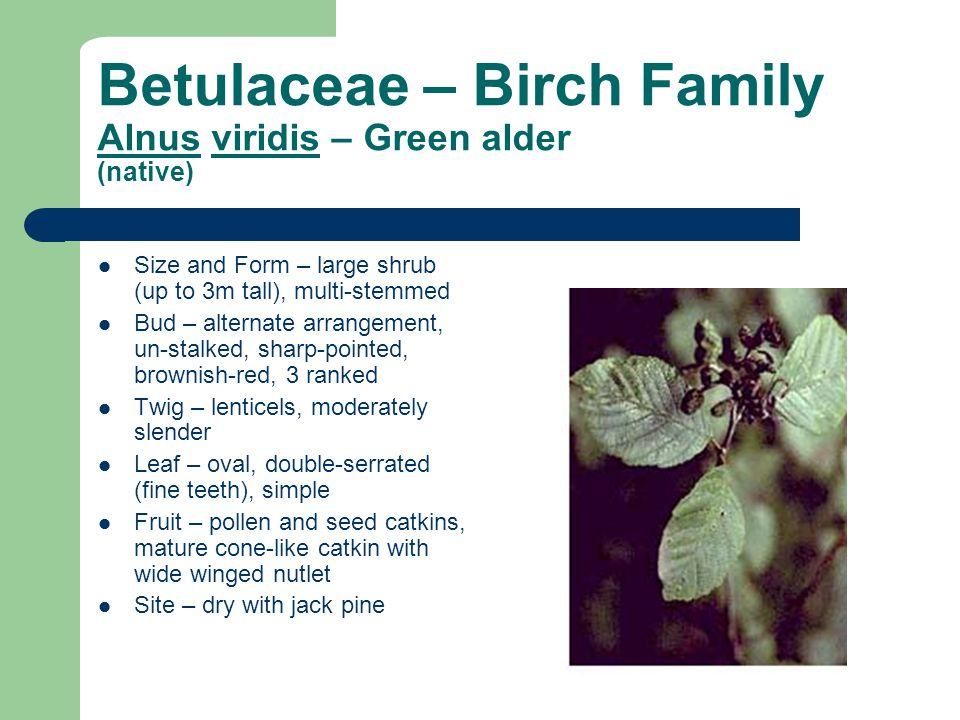 Betulaceae – Birch Family Alnus viridis – Green alder (native) Size and Form – large shrub (up to 3m tall), multi-stemmed Bud – alternate arrangement,