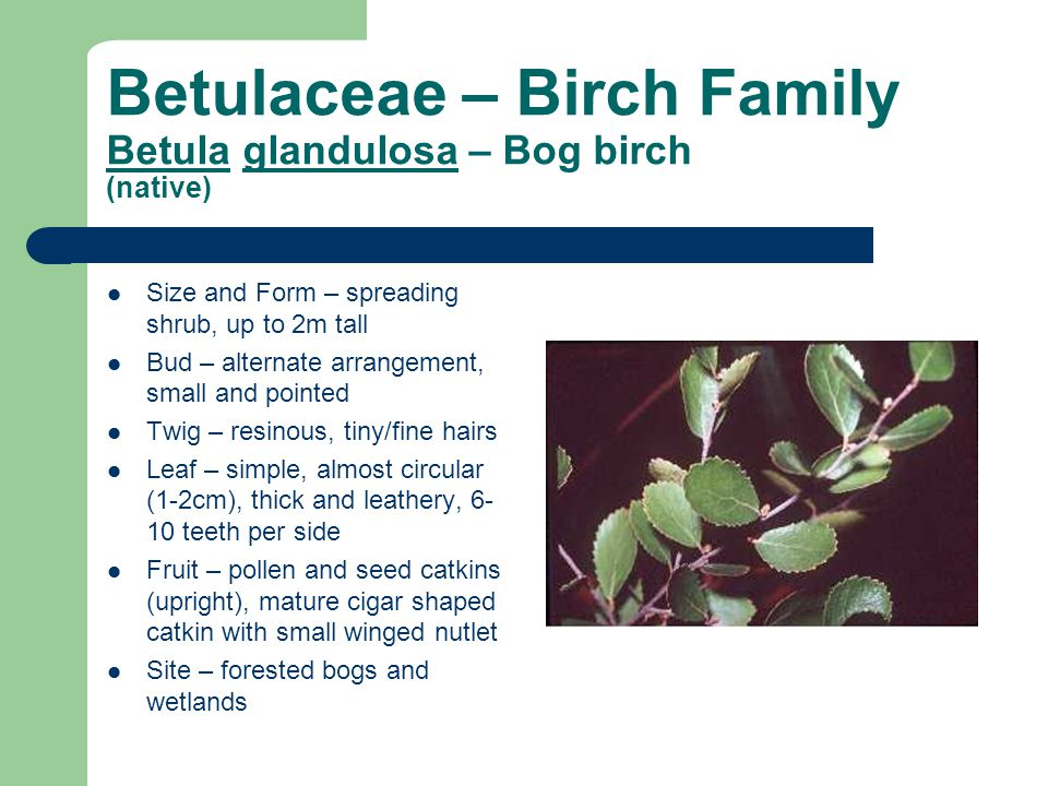 Betulaceae – Birch Family Betula glandulosa – Bog birch (native) Size and Form – spreading shrub, up to 2m tall Bud – alternate arrangement, small and