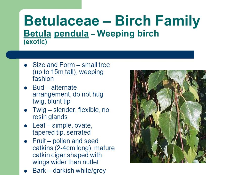 Betulaceae – Birch Family Betula pendula – Weeping birch (exotic) Size and Form – small tree (up to 15m tall), weeping fashion Bud – alternate arrangement, do not hug twig, blunt tip Twig – slender, flexible, no resin glands Leaf – simple, ovate, tapered tip, serrated Fruit – pollen and seed catkins (2-4cm long), mature catkin cigar shaped with wings wider than nutlet Bark – darkish white/grey Site – landscape tree