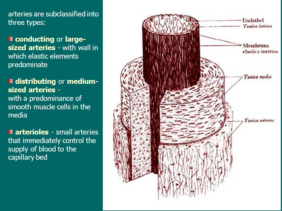 arteries are subclassified into three types: conducting or large- sized arteries - with wall in which elastic elements predominate distributing or med