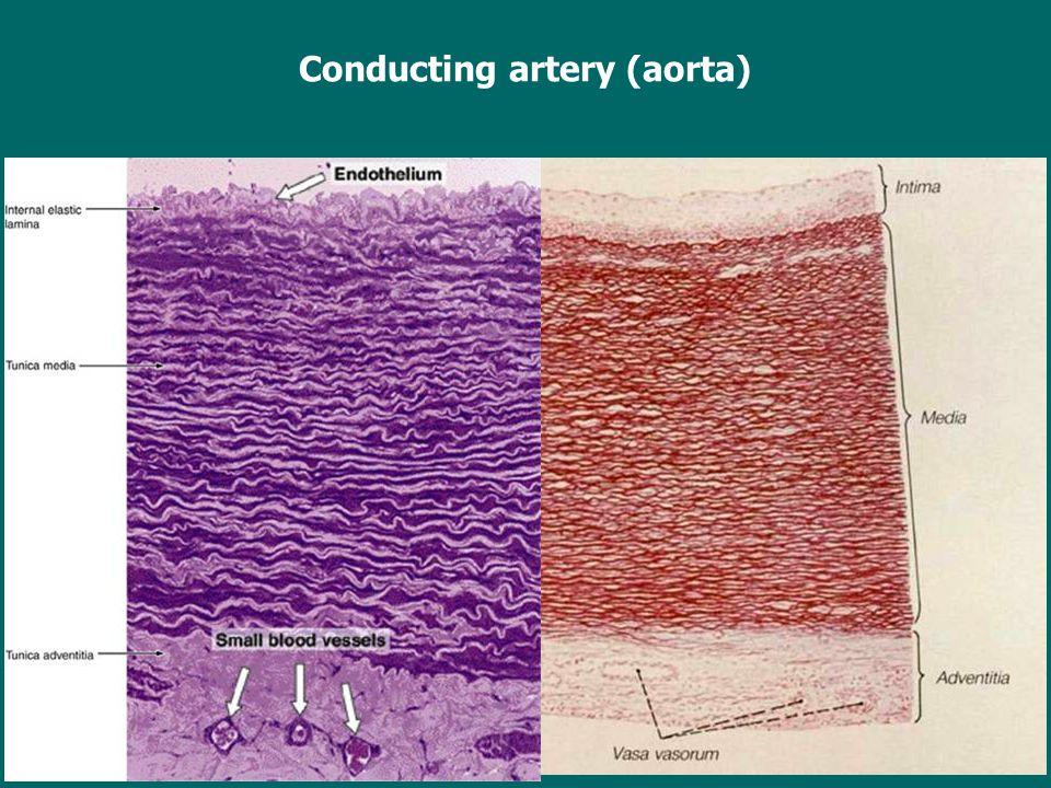 Conducting artery (aorta)