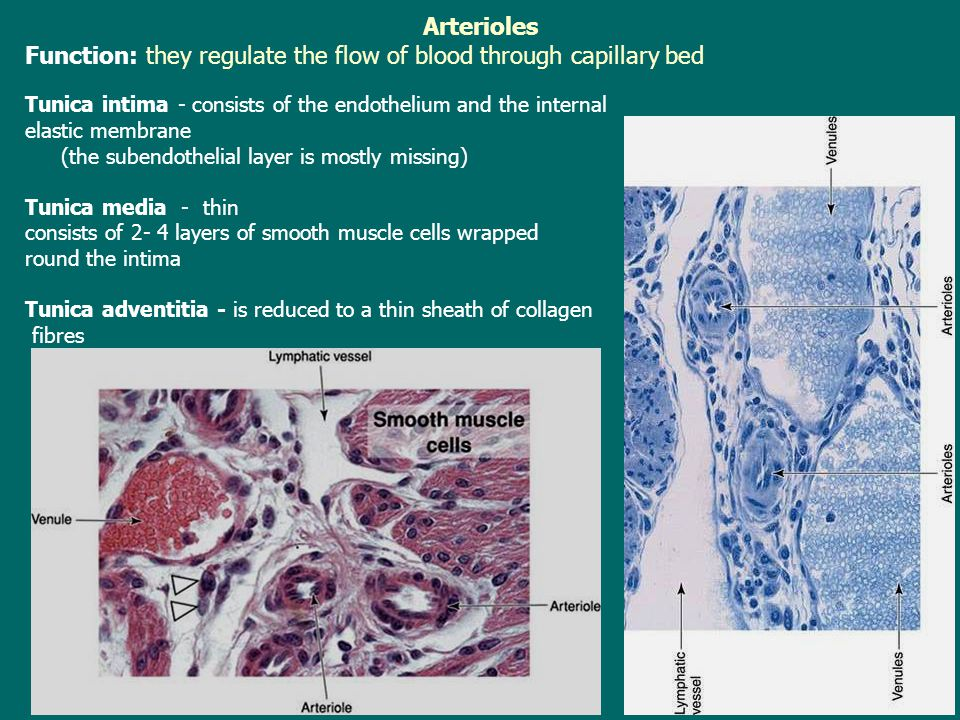 Arterioles Function: they regulate the flow of blood through capillary bed Tunica intima - consists of the endothelium and the internal elastic membra