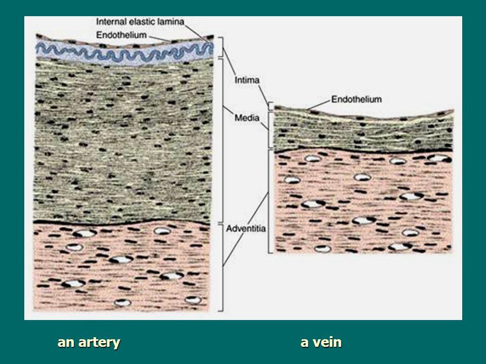 an arterya vein