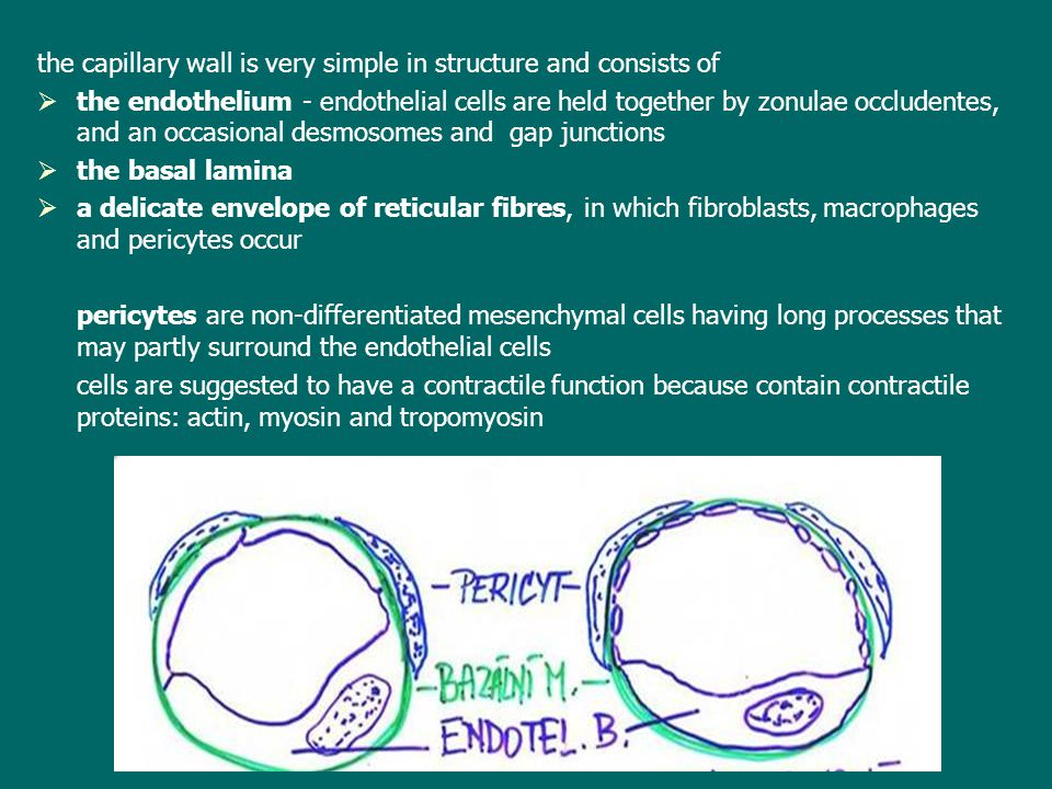 the capillary wall is very simple in structure and consists of   the endothelium - endothelial cells are held together by zonulae occludentes, and a