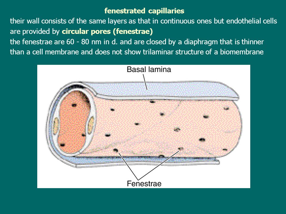 fenestrated capillaries their wall consists of the same layers as that in continuous ones but endothelial cells are provided by circular pores (fenest