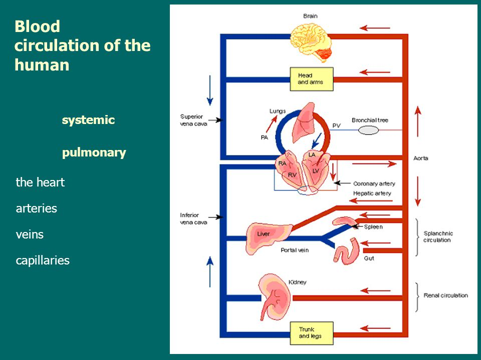 Blood circulation of the human systemic pulmonary the heart arteries veins capillaries