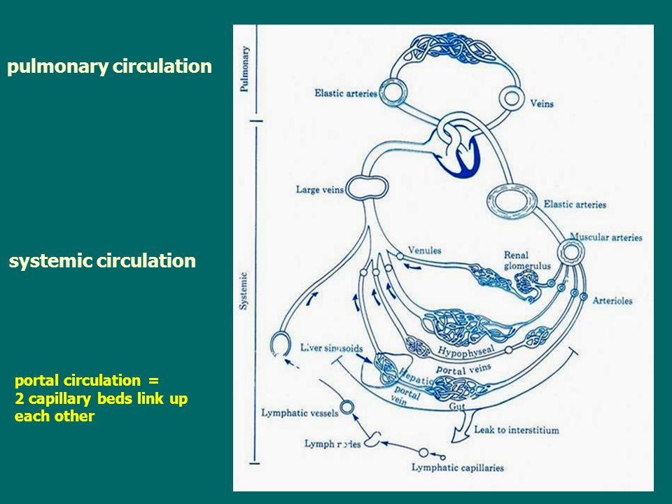pulmonary circulation systemic circulation portal circulation = 2 capillary beds link up each other