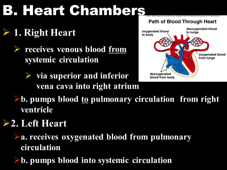 B. Heart Chambers