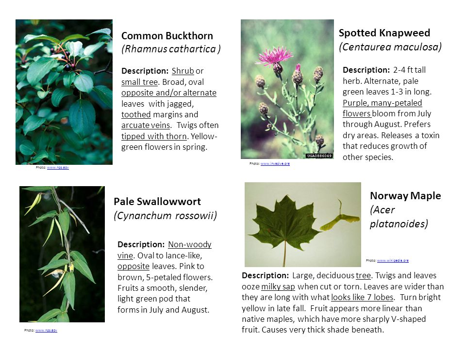Common Buckthorn (Rhamnus cathartica ) Spotted Knapweed (Centaurea maculosa) Pale Swallowwort (Cynanchum rossowii) Norway Maple (Acer platanoides) Description: Shrub or small tree.
