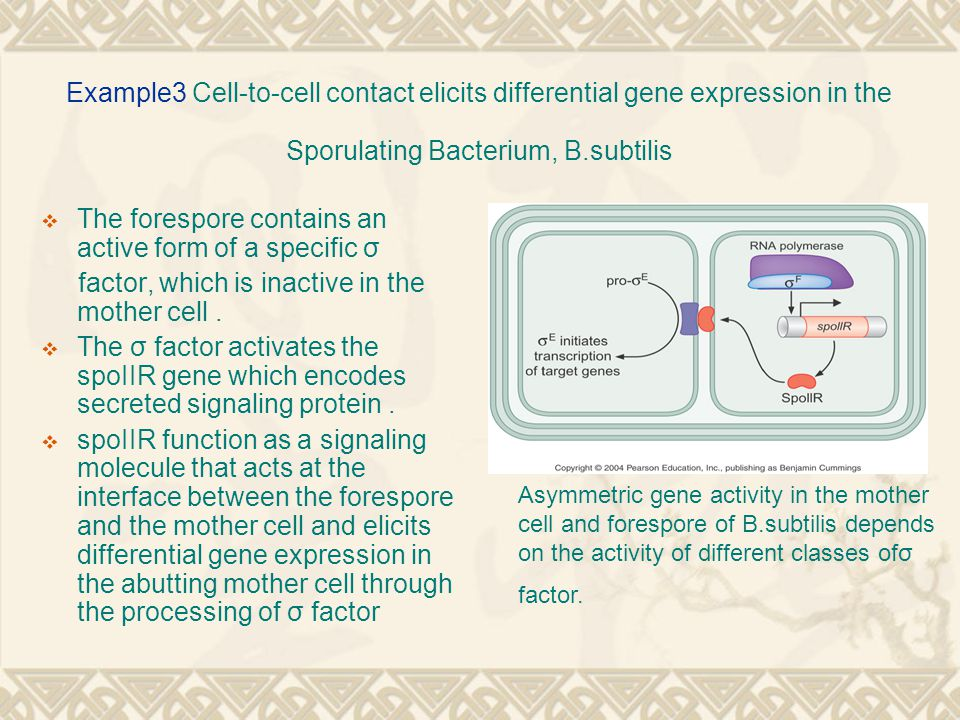 Example3 Cell-to-cell contact elicits differential gene expression in the Sporulating Bacterium, B.subtilis  The forespore contains an active form of a specific σ factor, which is inactive in the mother cell.
