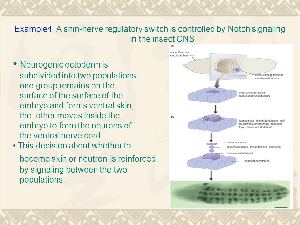 Example4 A shin-nerve regulatory switch is controlled by Notch signaling in the insect CNS Neurogenic ectoderm is subdivided into two populations: one group remains on the surface of the surface of the embryo and forms ventral skin; the other moves inside the embryo to form the neurons of the ventral nerve cord.