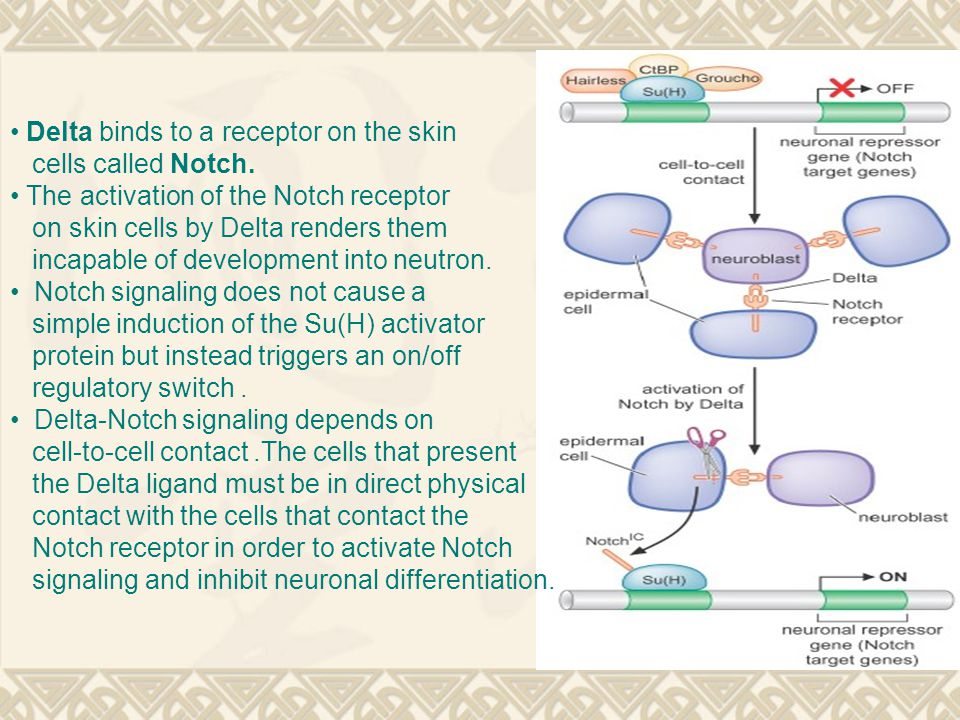 Delta binds to a receptor on the skin cells called Notch.