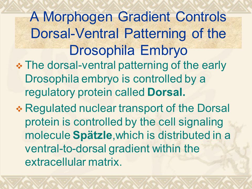 A Morphogen Gradient Controls Dorsal-Ventral Patterning of the Drosophila Embryo  The dorsal-ventral patterning of the early Drosophila embryo is controlled by a regulatory protein called Dorsal.