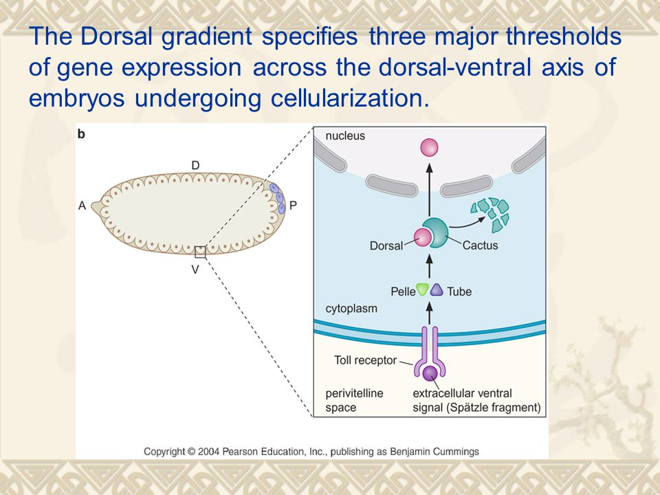The Dorsal gradient specifies three major thresholds of gene expression across the dorsal-ventral axis of embryos undergoing cellularization.