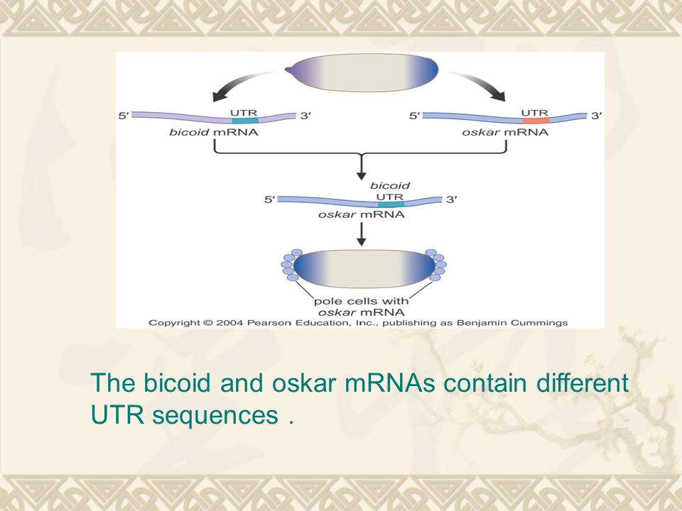 The bicoid and oskar mRNAs contain different UTR sequences.