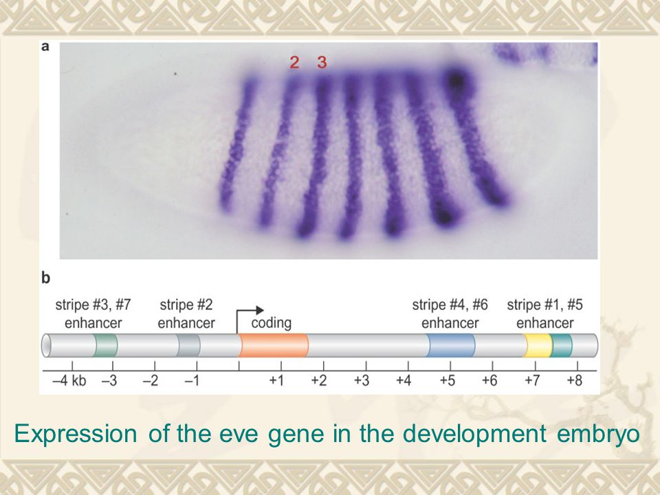 Expression of the eve gene in the development embryo