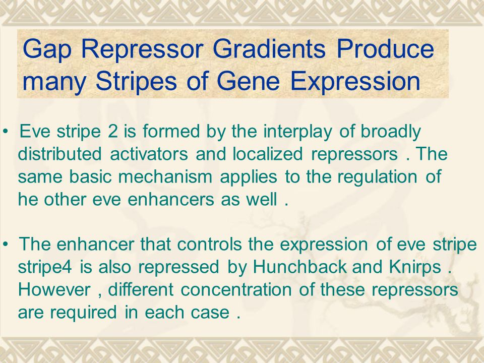 Gap Repressor Gradients Produce many Stripes of Gene Expression Eve stripe 2 is formed by the interplay of broadly distributed activators and localized repressors.