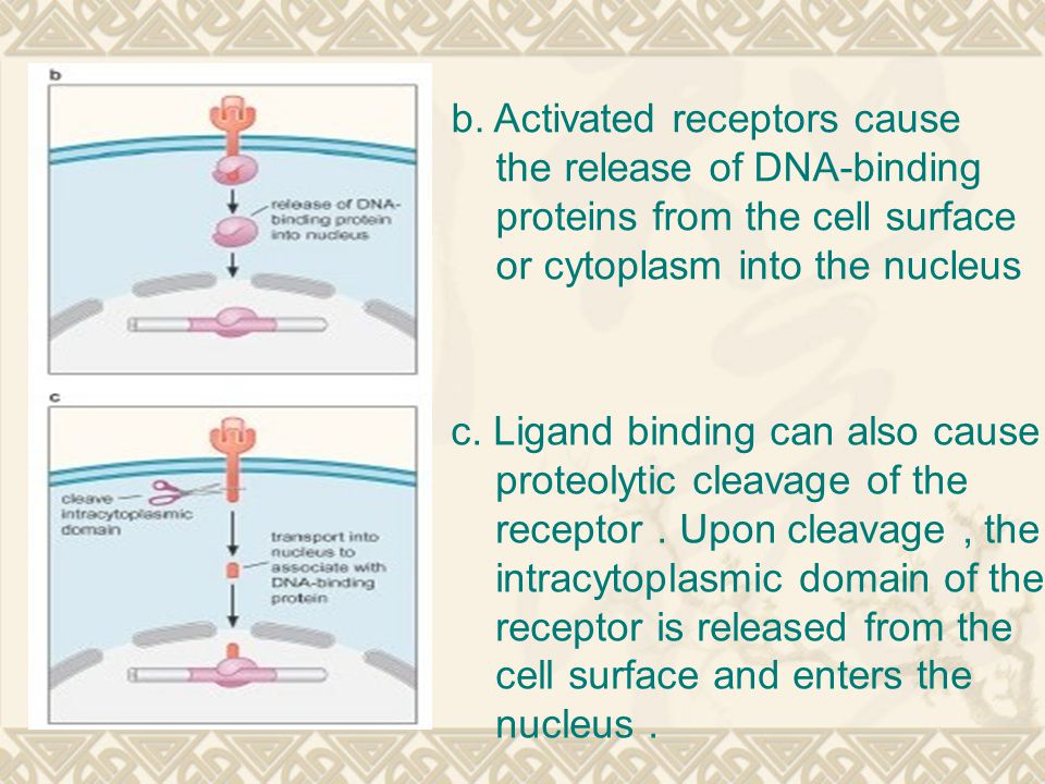 b. Activated receptors cause the release of DNA-binding proteins from the cell surface or cytoplasm into the nucleus c. Ligand binding can also cause