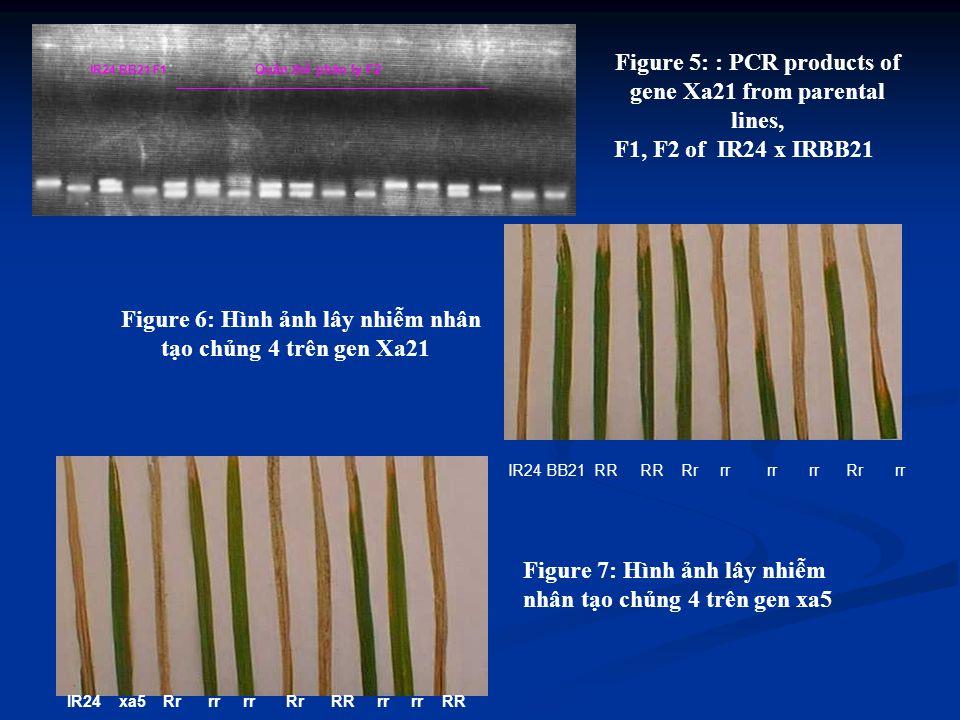 IR24 BB21 F1 Quần thể phân ly F2 IR24 BB21 RR RR Rr rr rr rr Rr rr IR24 xa5 Rr rr rr Rr RR rr rr RR trình chọn tạo giống.