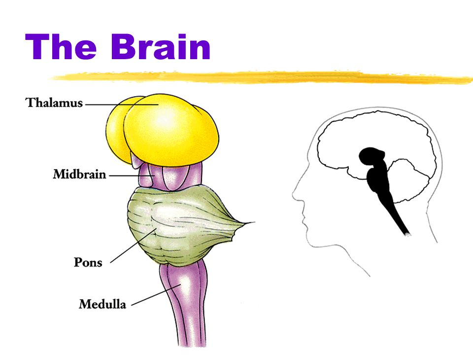 The Brain zBrainstem ythe oldest part and central core of the brain, beginning where the spinal cord swells as it enters the skull yresponsible for au