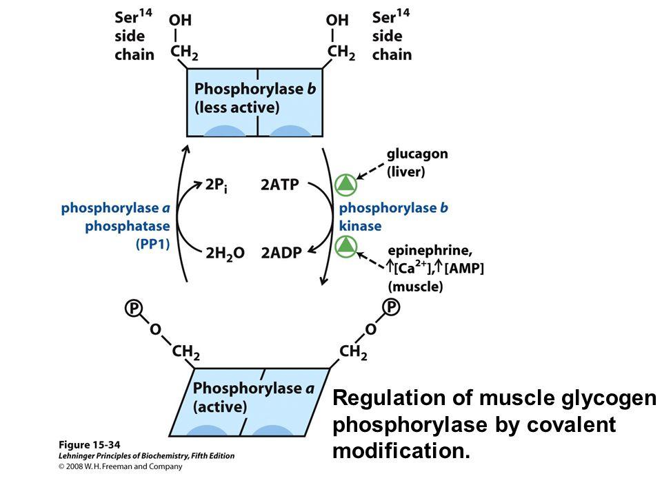 Regulation of muscle glycogen phosphorylase by covalent modification.