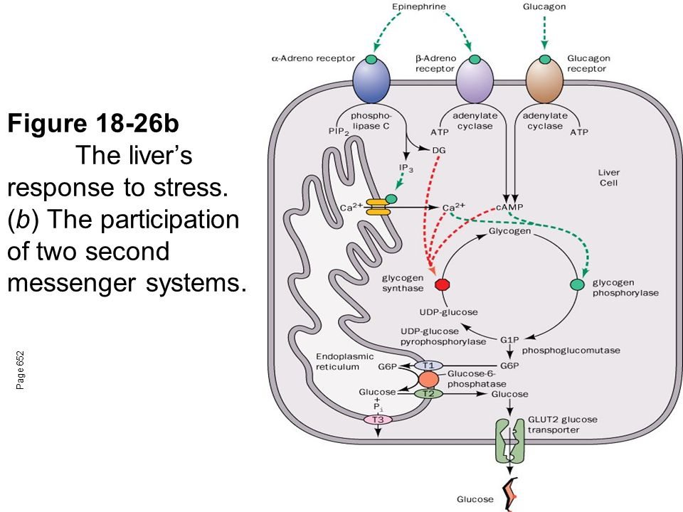 Figure 18-26b The liver's response to stress.