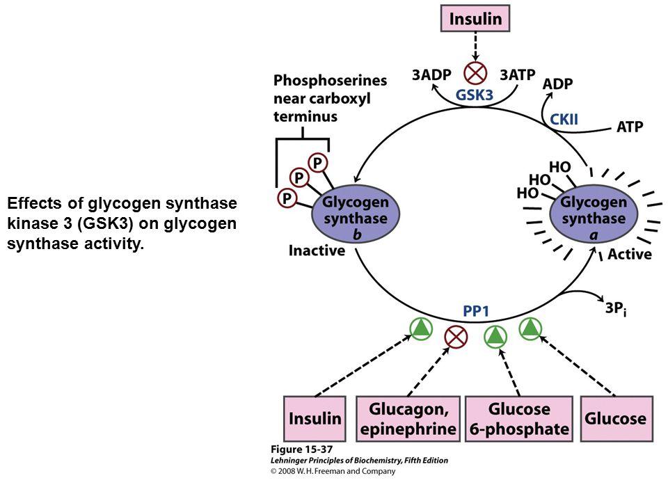 Effects of glycogen synthase kinase 3 (GSK3) on glycogen synthase activity.
