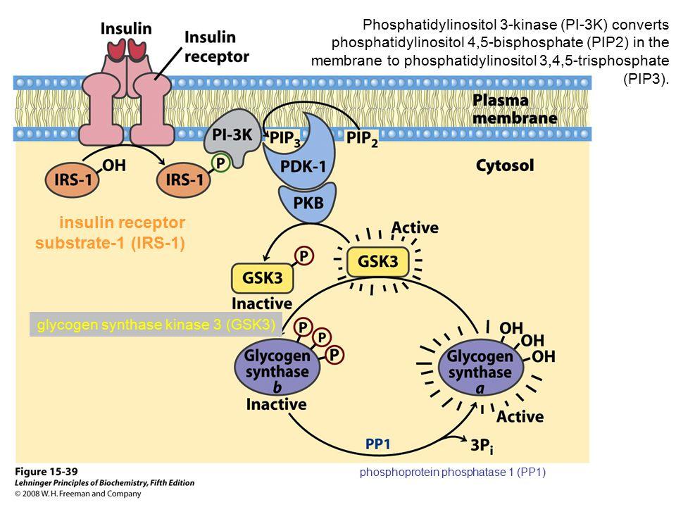 phosphoprotein phosphatase 1 (PP1) Phosphatidylinositol 3-kinase (PI-3K) converts phosphatidylinositol 4,5-bisphosphate (PIP2) in the membrane to phos