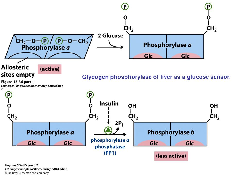 Glycogen phosphorylase of liver as a glucose sensor.