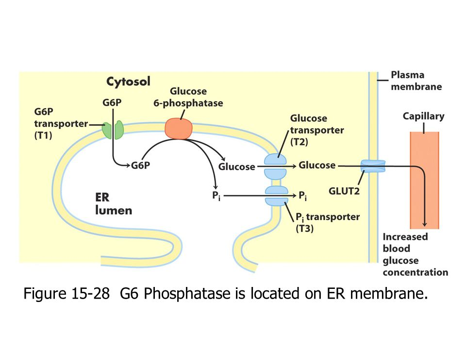Figure 15-28 G6 Phosphatase is located on ER membrane.