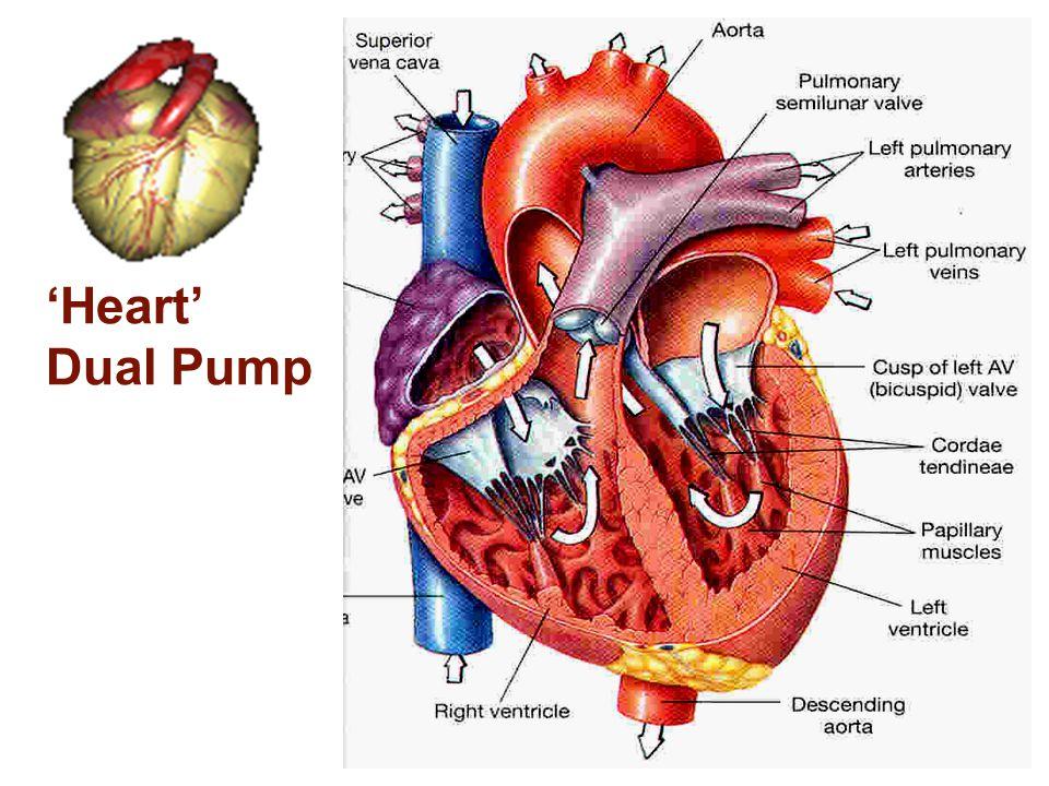 Dr. Enas (2009)5 'Heart' Dual Pump