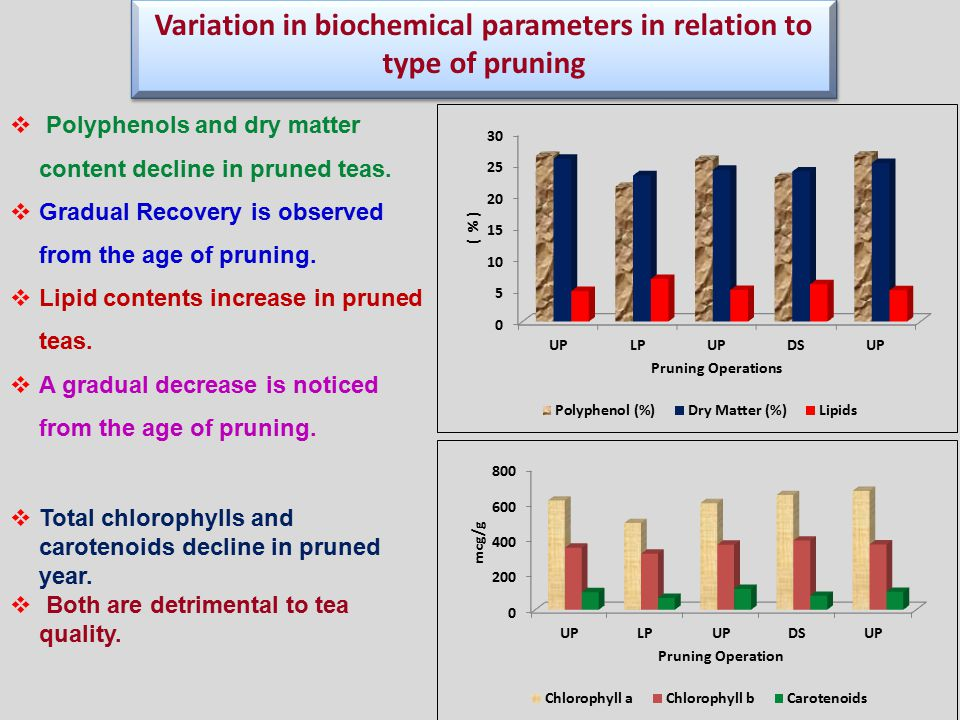 Variation in biochemical parameters in relation to type of pruning  Polyphenols and dry matter content decline in pruned teas.
