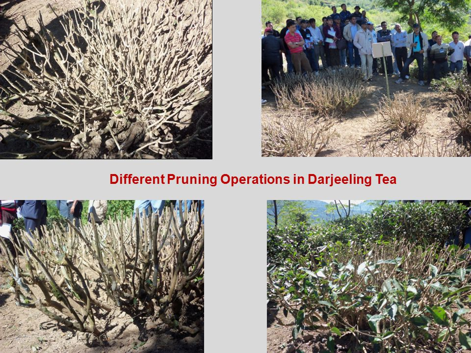 Different Pruning Operations in Darjeeling Tea