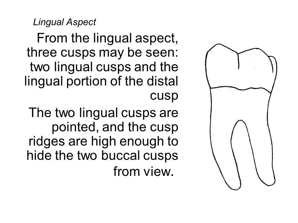 Above the buccal cervical ridge, the outline of the buccal contour may be slightly concave on some specimens or the outline may just be less convex or even rather flat as it continues occlusally outlining the contour of the mesio- buccal cusp.