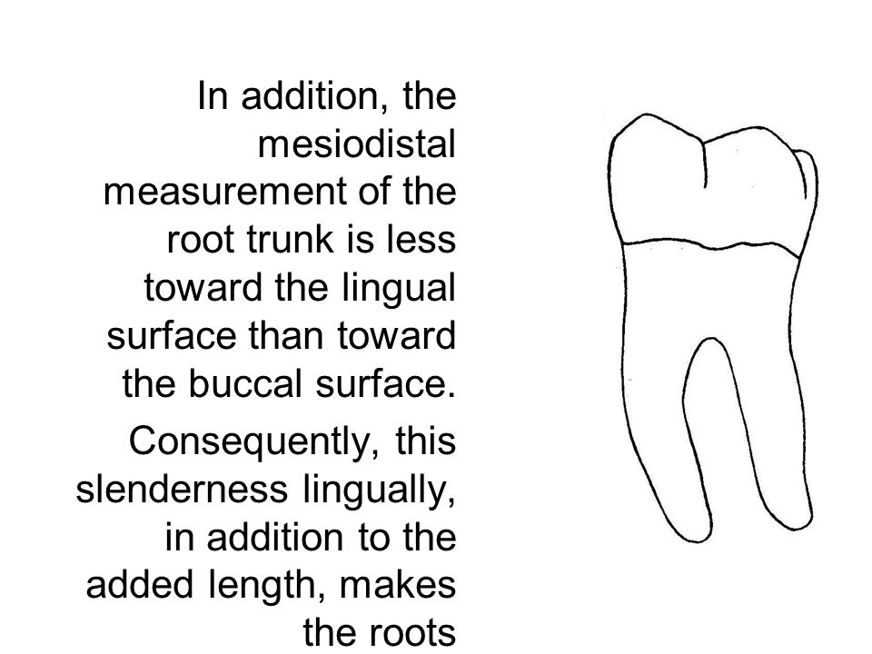 In addition, the mesiodistal measurement of the root trunk is less toward the lingual surface than toward the buccal surface. Consequently, this slend