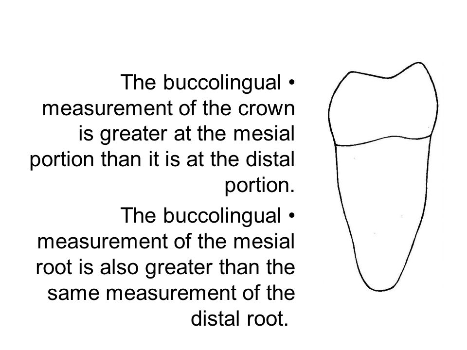 The buccolingual measurement of the crown is greater at the mesial portion than it is at the distal portion. The buccolingual measurement of the mesia