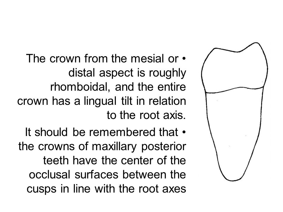 The crown from the mesial or distal aspect is roughly rhomboidal, and the entire crown has a lingual tilt in relation to the root axis. It should be r