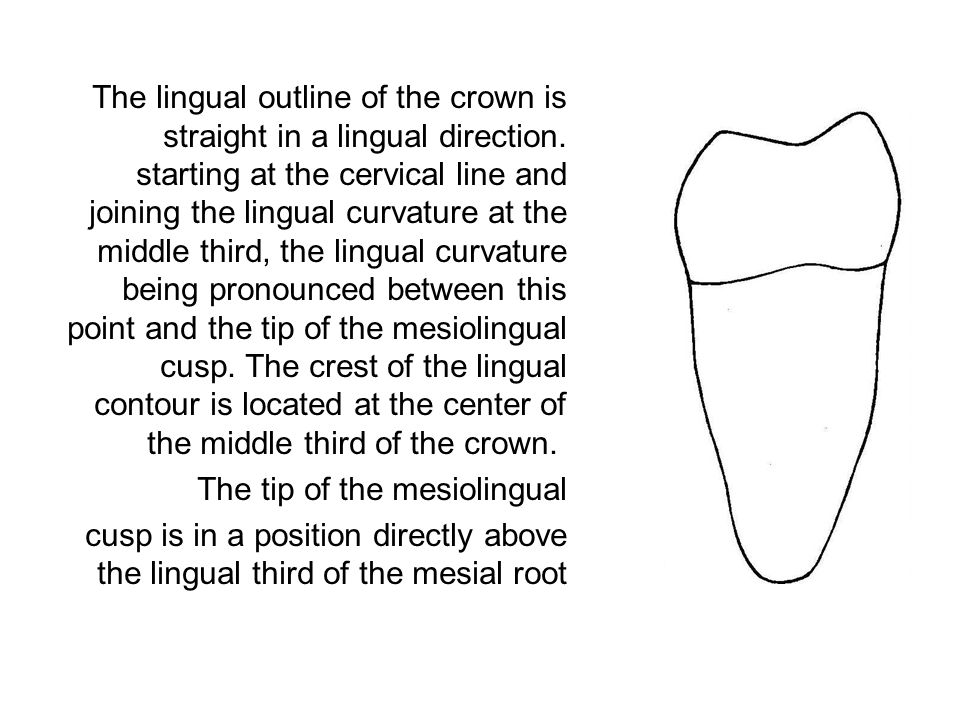 The lingual outline of the crown is straight in a lingual direction. starting at the cervical line and joining the lingual curvature at the middle thi