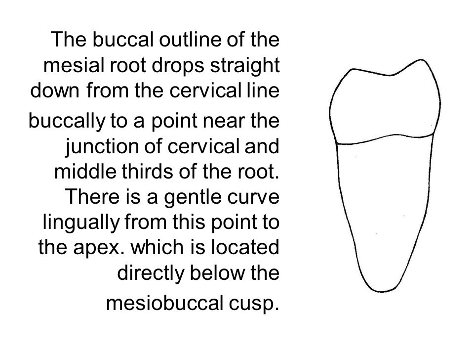 The buccal outline of the mesial root drops straight down from the cervical line buccally to a point near the junction of cervical and middle thirds o