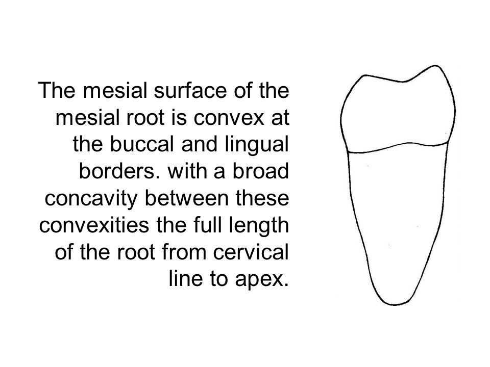 The mesial surface of the mesial root is convex at the buccal and lingual borders. with a broad concavity between these convexities the full length of