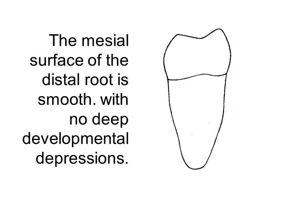 The mesial surface of the distal root is smooth. with no deep developmental depressions.