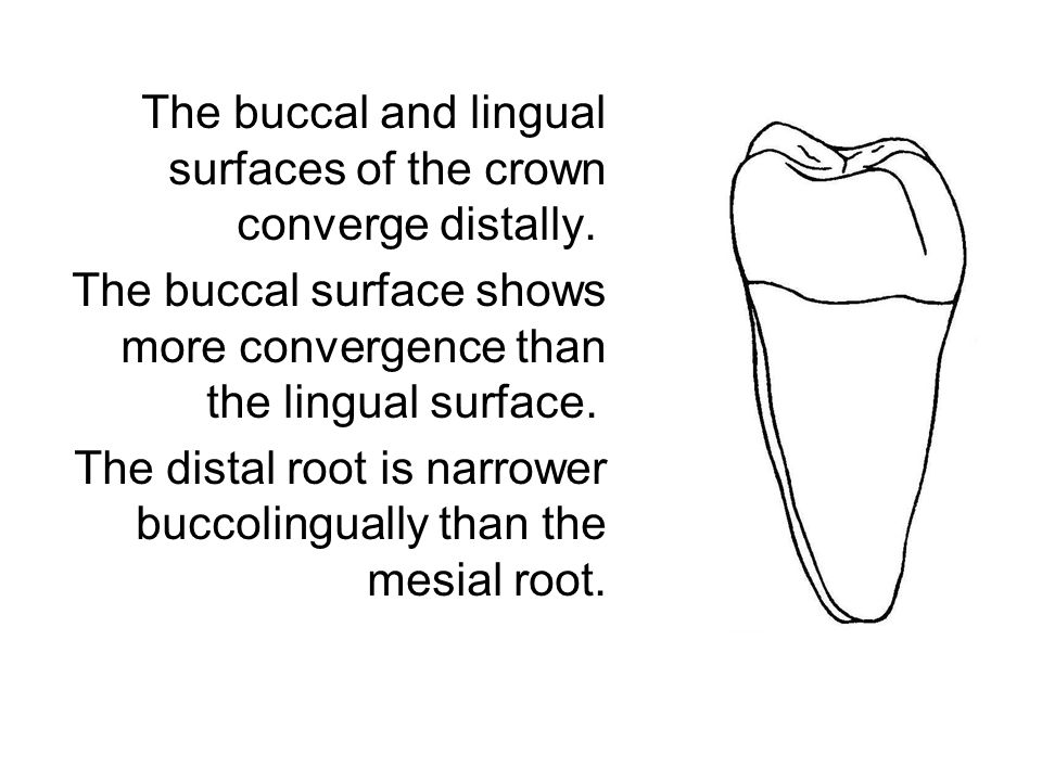 The buccal and lingual surfaces of the crown converge distally. The buccal surface shows more convergence than the lingual surface. The distal root is