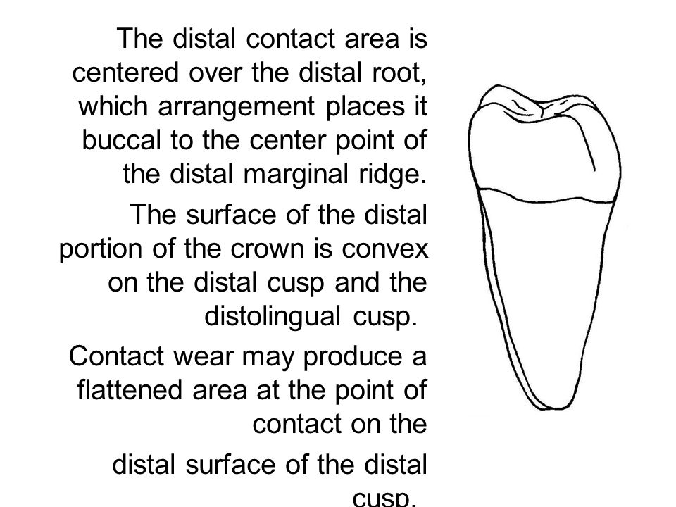 The distal contact area is centered over the distal root, which arrangement places it buccal to the center point of the distal marginal ridge. The sur