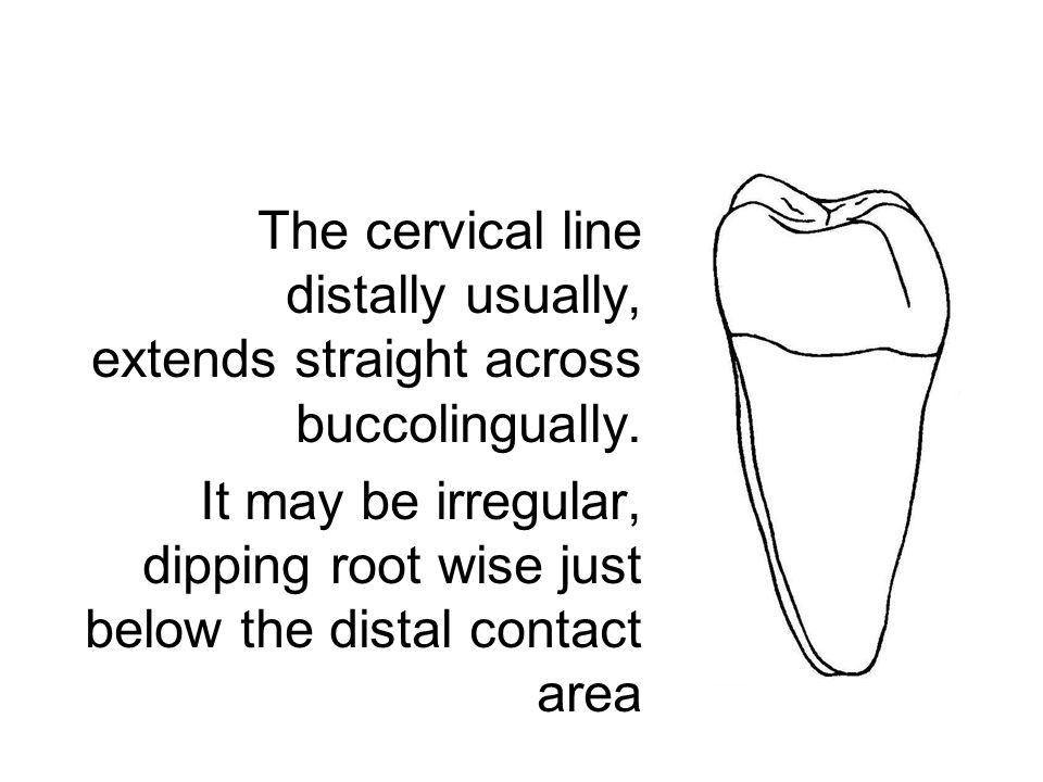 The cervical line distally usually, extends straight across buccolingually. It may be irregular, dipping root wise just below the distal contact area