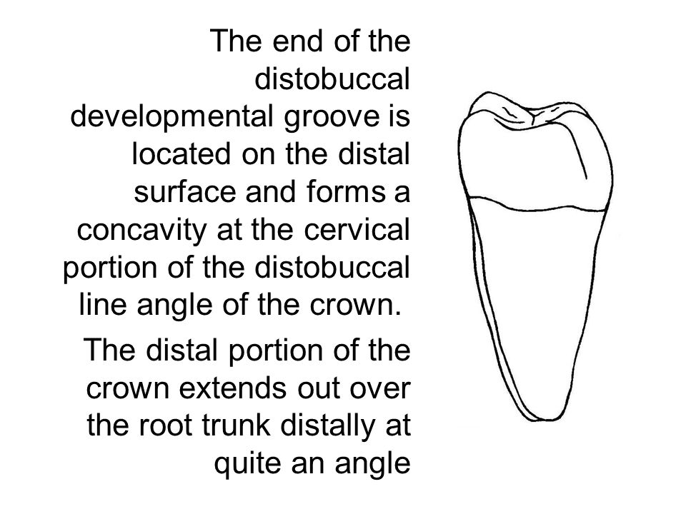 The end of the distobuccal developmental groove is located on the distal surface and forms a concavity at the cervical portion of the distobuccal line