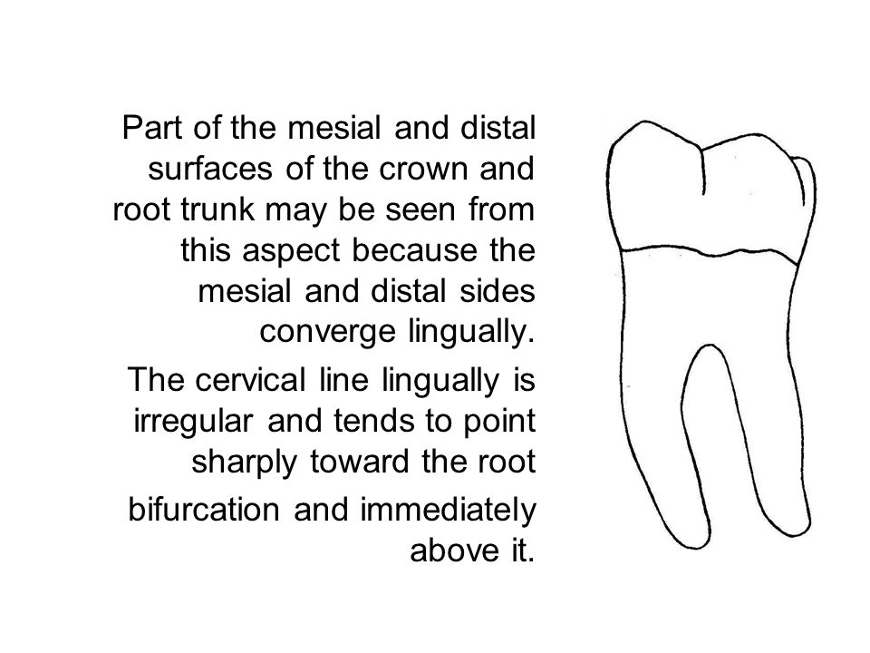 The surface of the crown is convex and smooth over the mesial contours of the mesiolingual and mesiobuccal lobes.